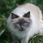 chat sacré de Birmanie Blue point