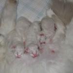chat sacré de birmanie - chatons agés de quelques jours