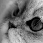 chat persan chinchilla