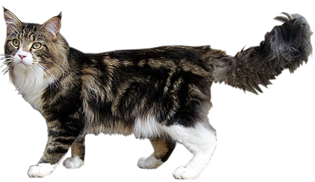 Chat maine coon tabby et blanc