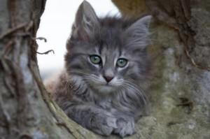 chaton norvegien