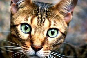 portrait chat du bengal