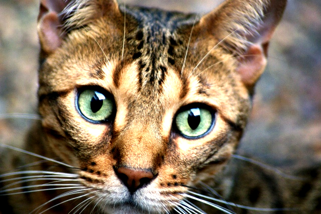 Chat de race chat du bengal le l opard des chats - Chat du bengal gratuit ...