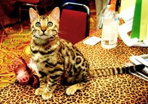 race de chat bengal