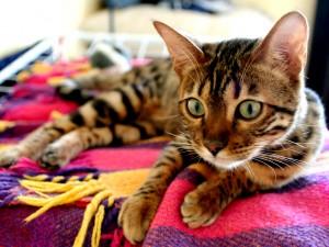 race chat du bengal