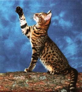 le bengal chat de race