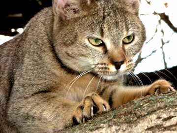 le Chausie, le chat de la jungle