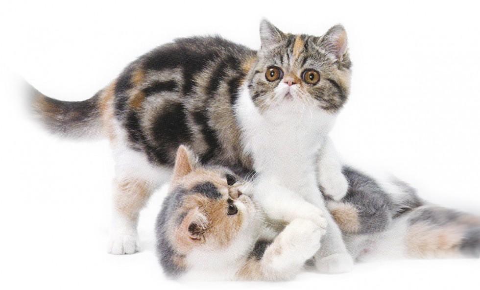 Lechatpacha - races - exotic shorthair - le chat aux grands yeux