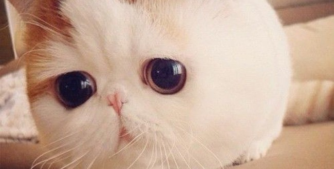 chat exotic shorthair aux grands yeux