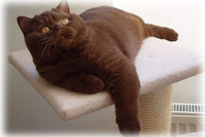 Chat British Shorthair Chocolat