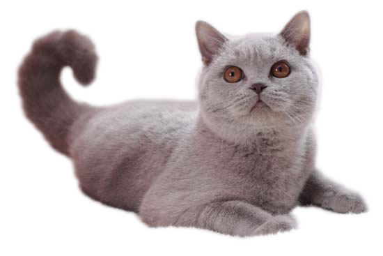British Shorthair Lilas
