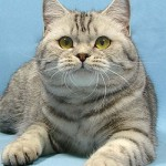 chat British Shorthair tabby