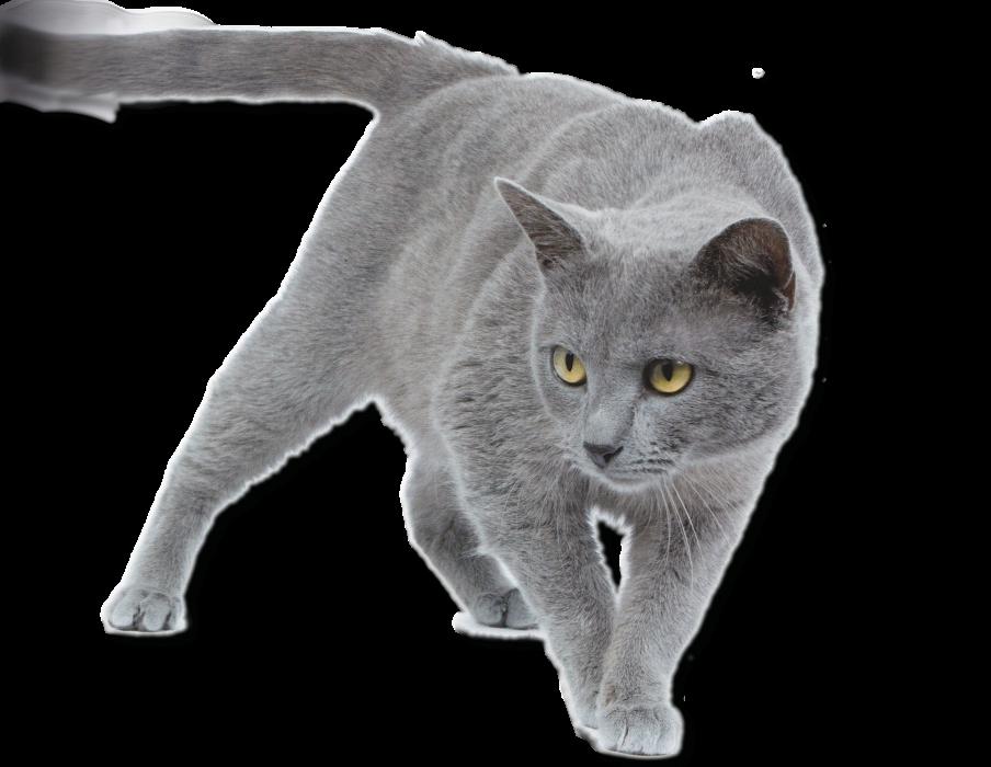 chat race chartreux