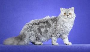 Selkirk rex, le chat au poil frisé