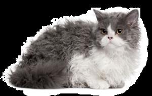 Selkirk rex, le chat au poil